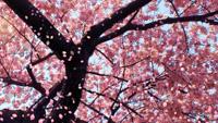 __cherry_blossom